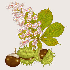 Blossom Chestnut Botanical Vector Illustration