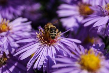 Biene auf Winterastern