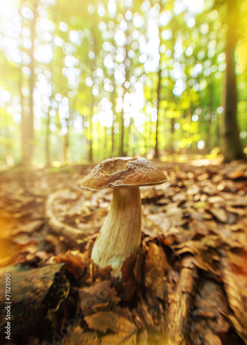 Boletus in the forest during autumn day - 71121090