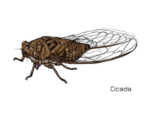 Drawing of cicada