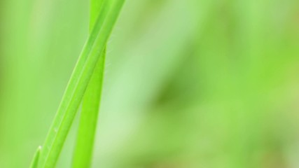 isolated green grasses