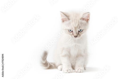 Foto op Aluminium Kat Gattino bianco isolato su sfondo bianco