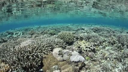 Pacific Corals