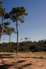 Forêt de Pins en arrière d'une plage