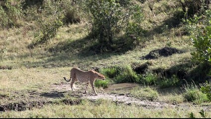 Cheetah moves away from the camera. Savannah.