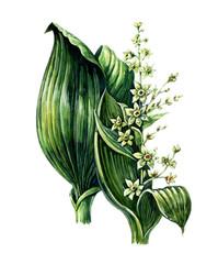 Flowers and leaves of Veratrum lobellianum. Botany
