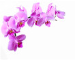 Pink streaked orchid flower on white background