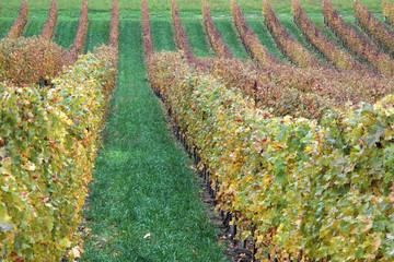 filari di vigneti vitigni in stagione autunnale