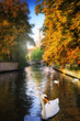 White swans in canal. Bruges, Belgium
