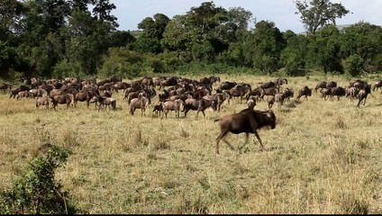 Wildebeest eating grass.