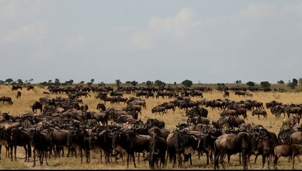 Lots of wildebeest on the field. Wildebeest.