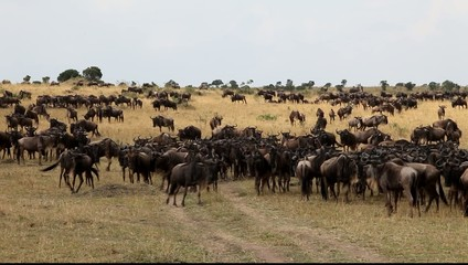 Summer migration of wildebeests in the Masai Mara park.