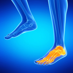 medical illustration of the foot bones