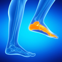 medical illustration of the foot bones