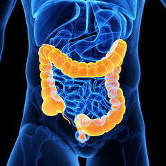 medical illustration of the colon