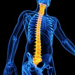 medical illustration of the male spine