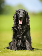 Purebred flat-coated retriever dog