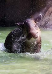 Happy Tapir Enjoying the Water