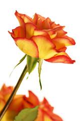 Autumn Splendor Rose