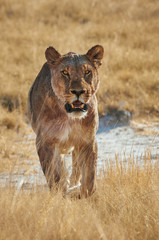 Lioness walking in frontally in  Etosha National Park