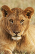 Portrait of a young lion vertically