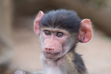 Baby baboon portrait looking very confused close-up