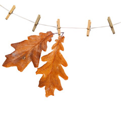 Oak branch hanging on clothesline isolated on white background