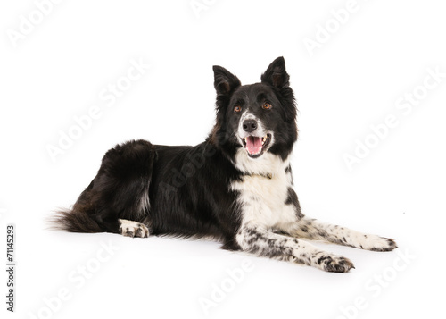 Canvas Schapen Border Collie