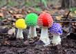 four multicoloured fly agaric - 71146081