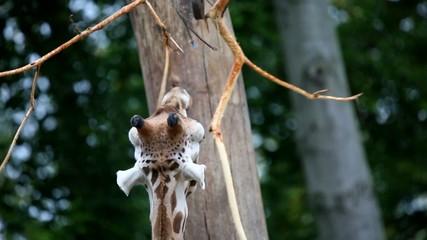 Wunderschöne Giraffe im Reservat