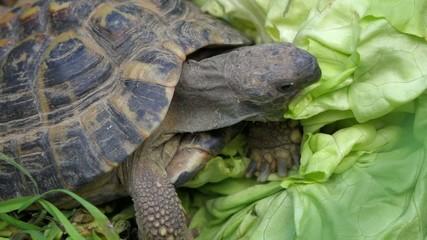 Greek tortoise is eating a big salad between grass, macro