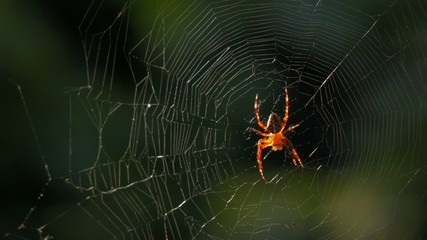 Close up of an European cross spider on its web in breeze