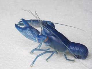 shrimp is blue(Cherax Destructor)