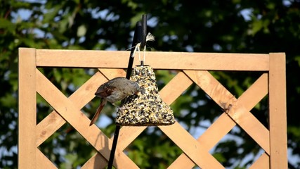 Female Cardinal on a hanging feeder