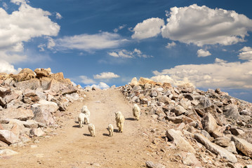 Colorado Rock Mountain Goats walk on a dirt road