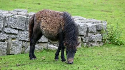 Wunderschönes wildes Ur Pferd in der Natur