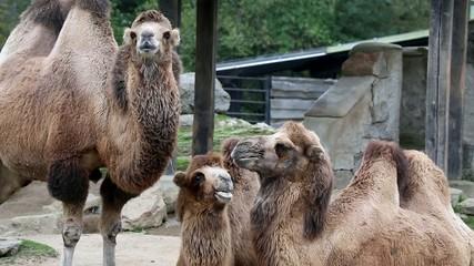 Kamele kuscheln