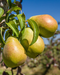Group of Bartlett pears in an orchard