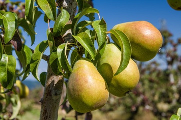 Group of green pears in an orchard
