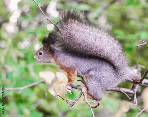 Papiers peints Hyène Little squirrel.