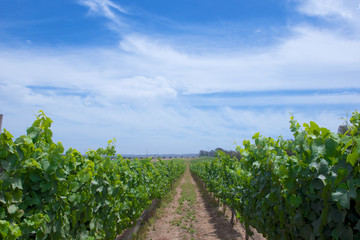 Central California Grape Vineyard