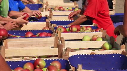 Workers sorting apples in farm, after picking