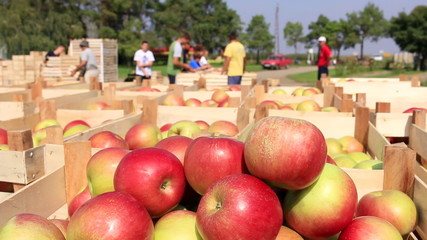 Apple picking and sorting on farm