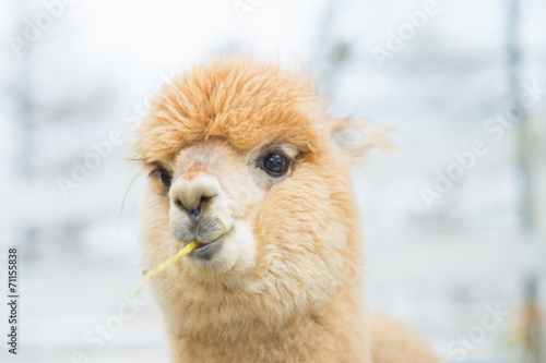 Staande foto Lama Closeup of an Alpaca