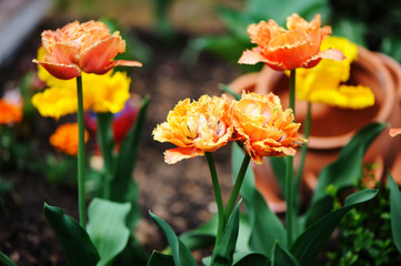 Bred orange tulips outdoor