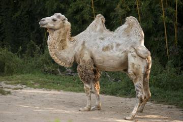 white camel portrait