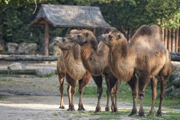 brown camel trio portrait
