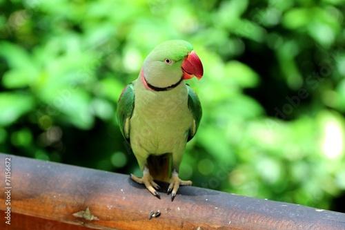 Papiers peints Australie Alexandrine parrot, Inde