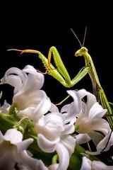 praying mantis on white flower - mantis religiosa