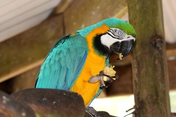 Macaw parrot, South America